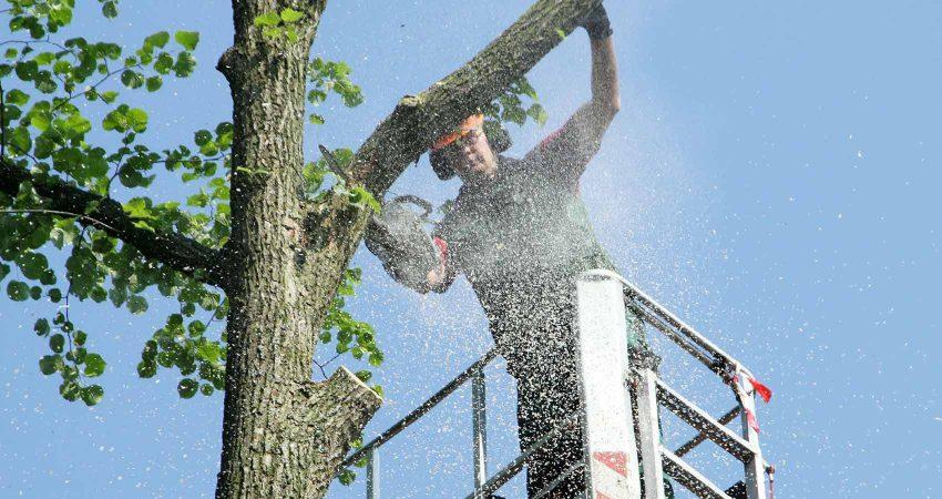 Fachkräfte für den Baumschnitt führen korrekt ihre Arbeit aus