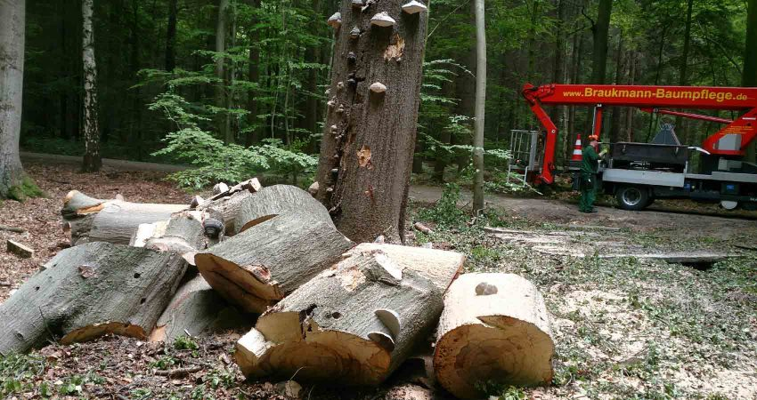 Baumfällung bei fortgeschrittenem Pilzbefall